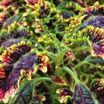 How To Overwinter Coleus The Right Way