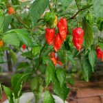 How To Fix Calcium Deficiency In Pepper Plants: 3 Tips to Remember