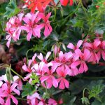 How To Cut Geraniums. 3 Best Methods To Master