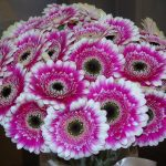 How To Grow Gerbera From Cuttings In 3 Easy Steps