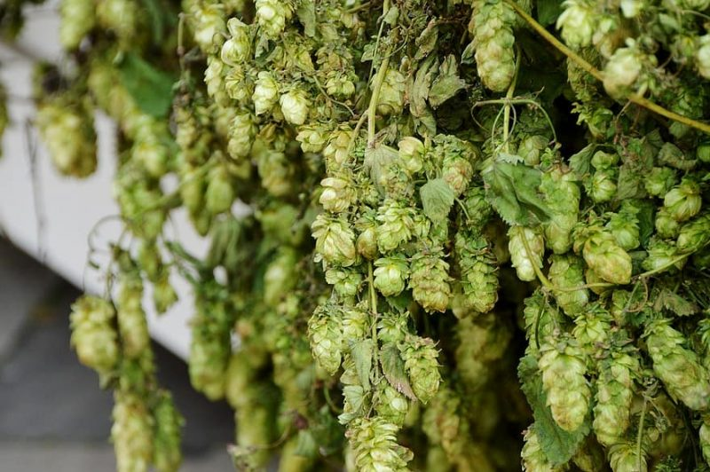 How To Grow Hops In Ohio In 3 Easy Steps