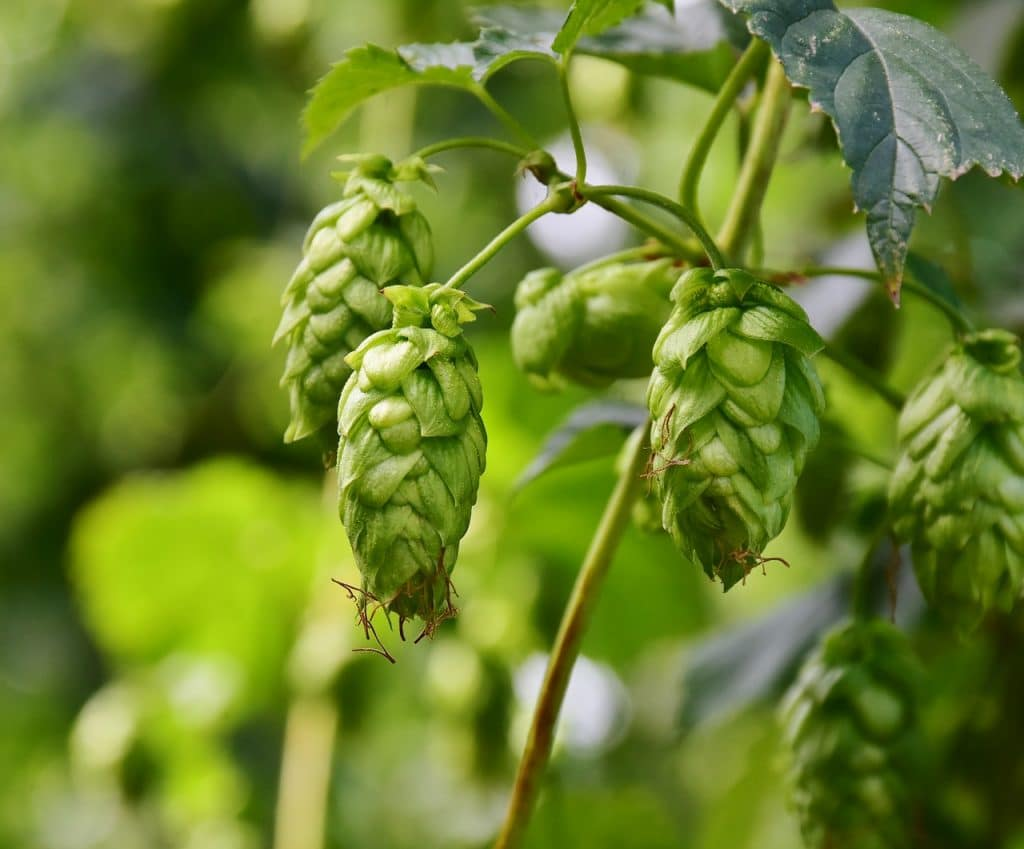 How To Grow Hops In Pots. Best 3-Step Guide