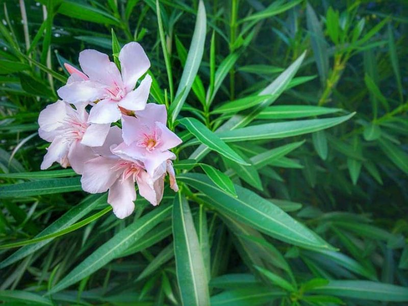 How To Grow Oleander From Cuttings In 2 Steps