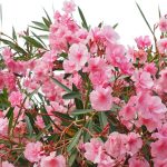 How To Plant Oleanders. 3 Steps For Beginners