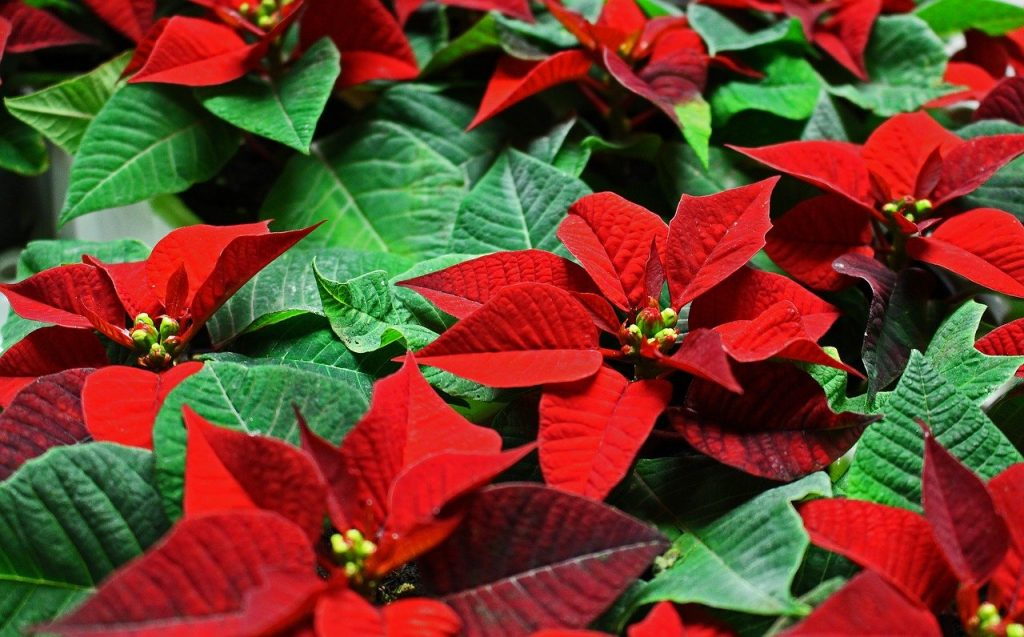 How Do You Start A New Poinsettia Plant