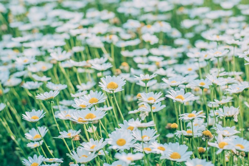 how to divide Shasta daisies