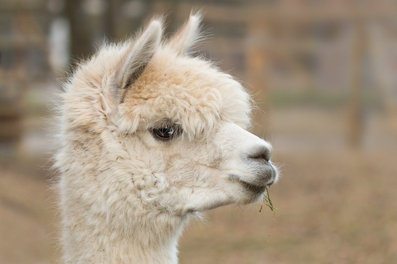 how much does an alpaca blanket cost