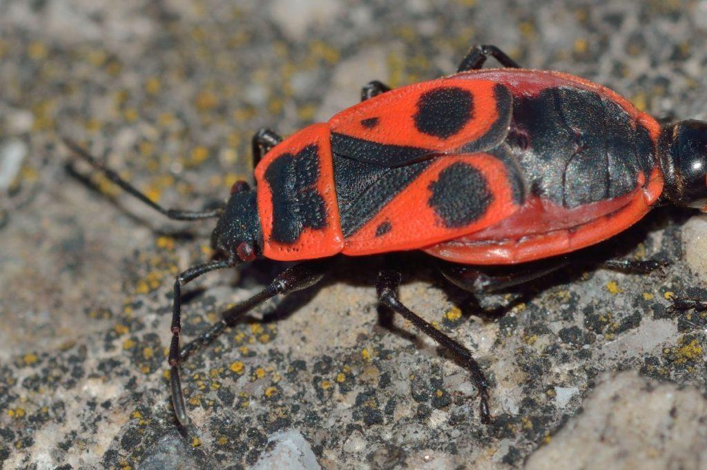 What does bed bugs poop look like